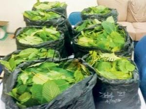 Nenek ditangkap jual daun ketum 53 kilogram