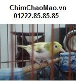 Chim Chao Mao, Chim Vanh Khuyen Moc