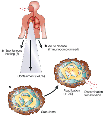 tuberculosis immune system and national tb Ethnic background influences immune response to tb  the way in which your body fights tuberculosis  of tb at the national heart and lung.