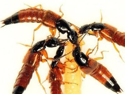 Melihat Foto dan Gambar Tomcat - Serangga Tomcat