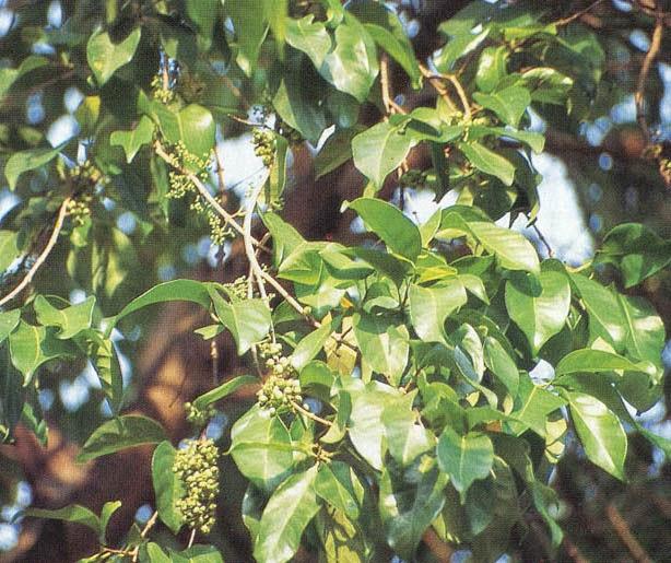 Tanaman obat Salam (Syzygium polyanthum (Wight.) Walp.)