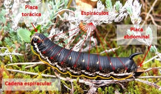 Partes del cuerpo de la oruga