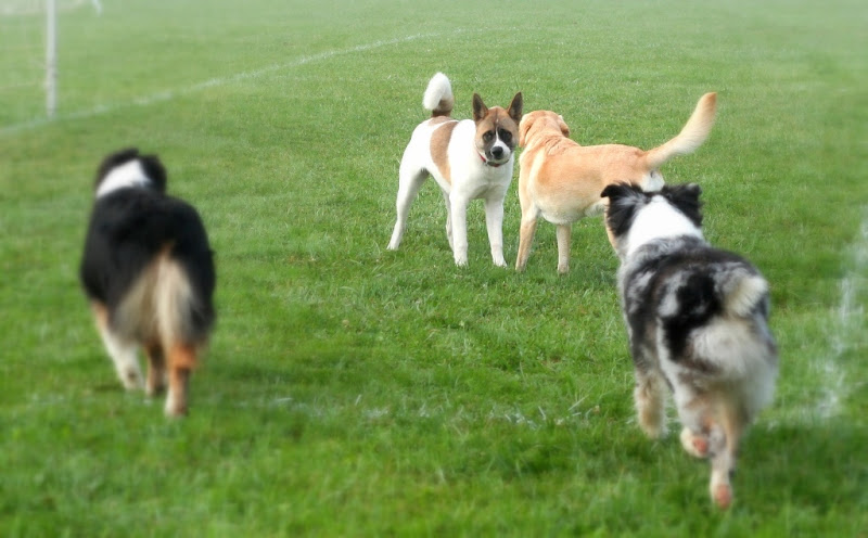 a white akita with brown spots and a masked face like a raccoon, standing head to head with cabana, as two aussies look on and run toward them from opposite sides of the photo