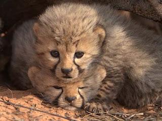 Foto Bayi Cheetah Imut