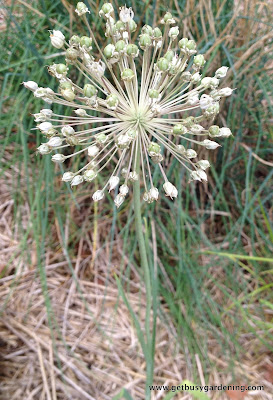 Onion flower spike