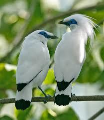 foto burung jalak bali - gambar hewan
