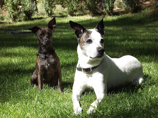 two dogs in grass, Chihuahua and pit bull