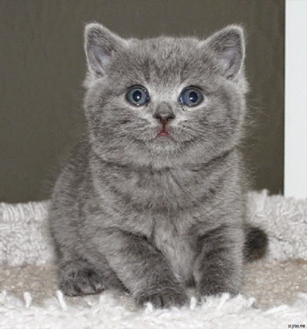 Photo chaton gris photo de chat - Petit chaton tout mignon ...