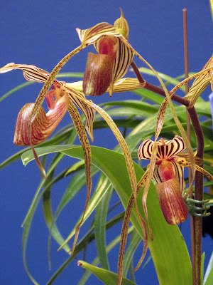 Bronze striped lady slipper orchid