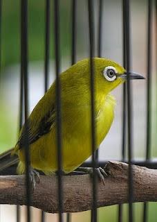 Tips Memilih Burung Pleci Yang Bagus Untuk Lomba b833128247
