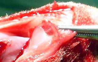 preparacion reparacion lesion rotula perro