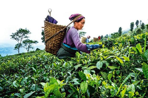 The importance of darjeeling tea mungpoo news for Garden and its importance