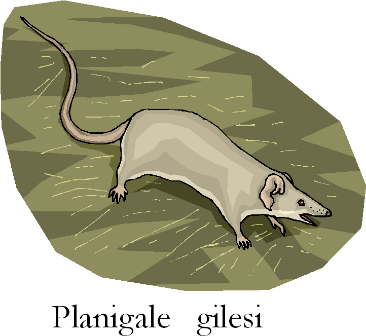 Giles Planigale Gilesi Free Clipart