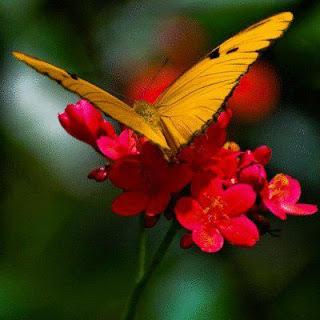 fotografias de mariposas y flores