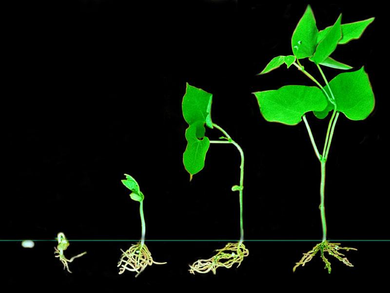 El frijol proyecto de investigaci n for Proyecto de investigacion de plantas ornamentales