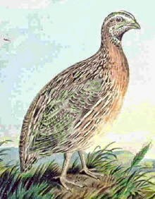 Usaha kecil Budidaya Ternak Burung Dan Telur Puyuh
