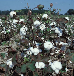 CLCV major threat to Pakistan's cotton crop: SBP