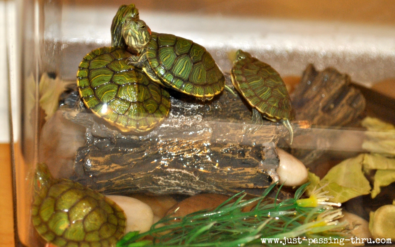 Pet Turtle Tank Benefits and risks of pet
