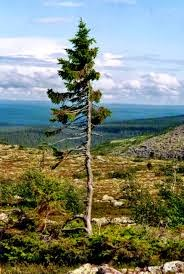 'Tjikko': World's Oldest Tree