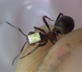 Seekor semut yang dipasang dengan radio kecil untuk tujuan eksperimen oleh Universiti York.
