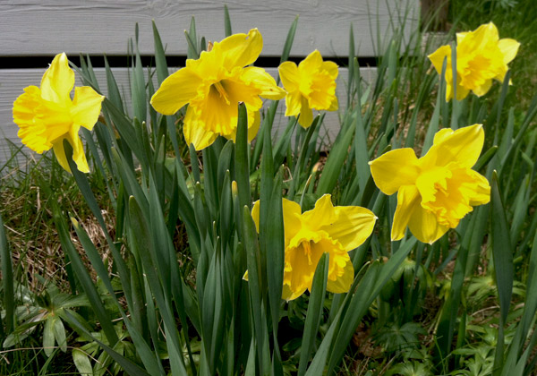 Påskliljor i blom