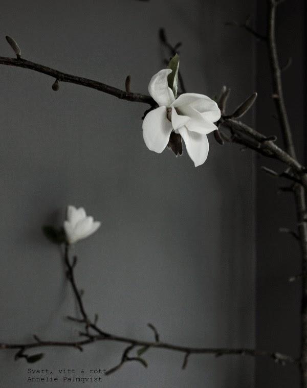 magnolia, kvist, gren, magnoliagren, magnoliakvist, natur, trädgård, träd, ta in våren, gråmålad vägg,