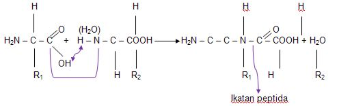 ikatan peptida