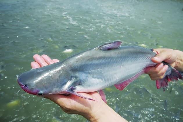 Cá bông lau