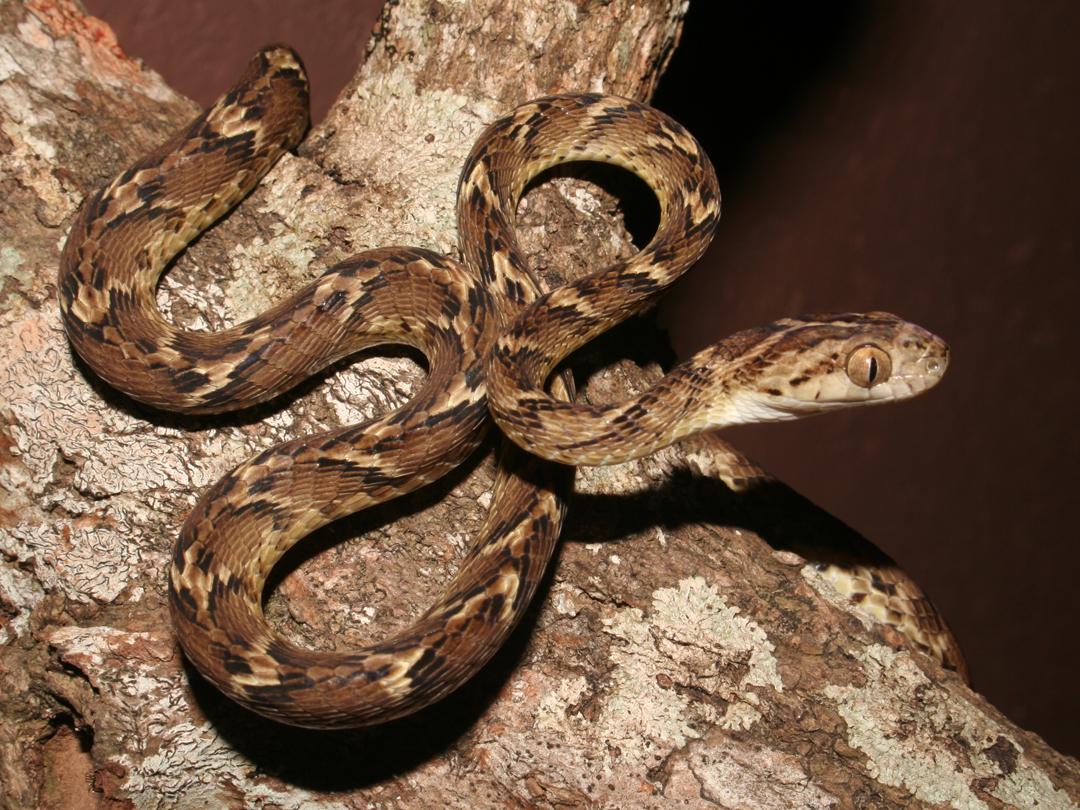 Image result for indian snake