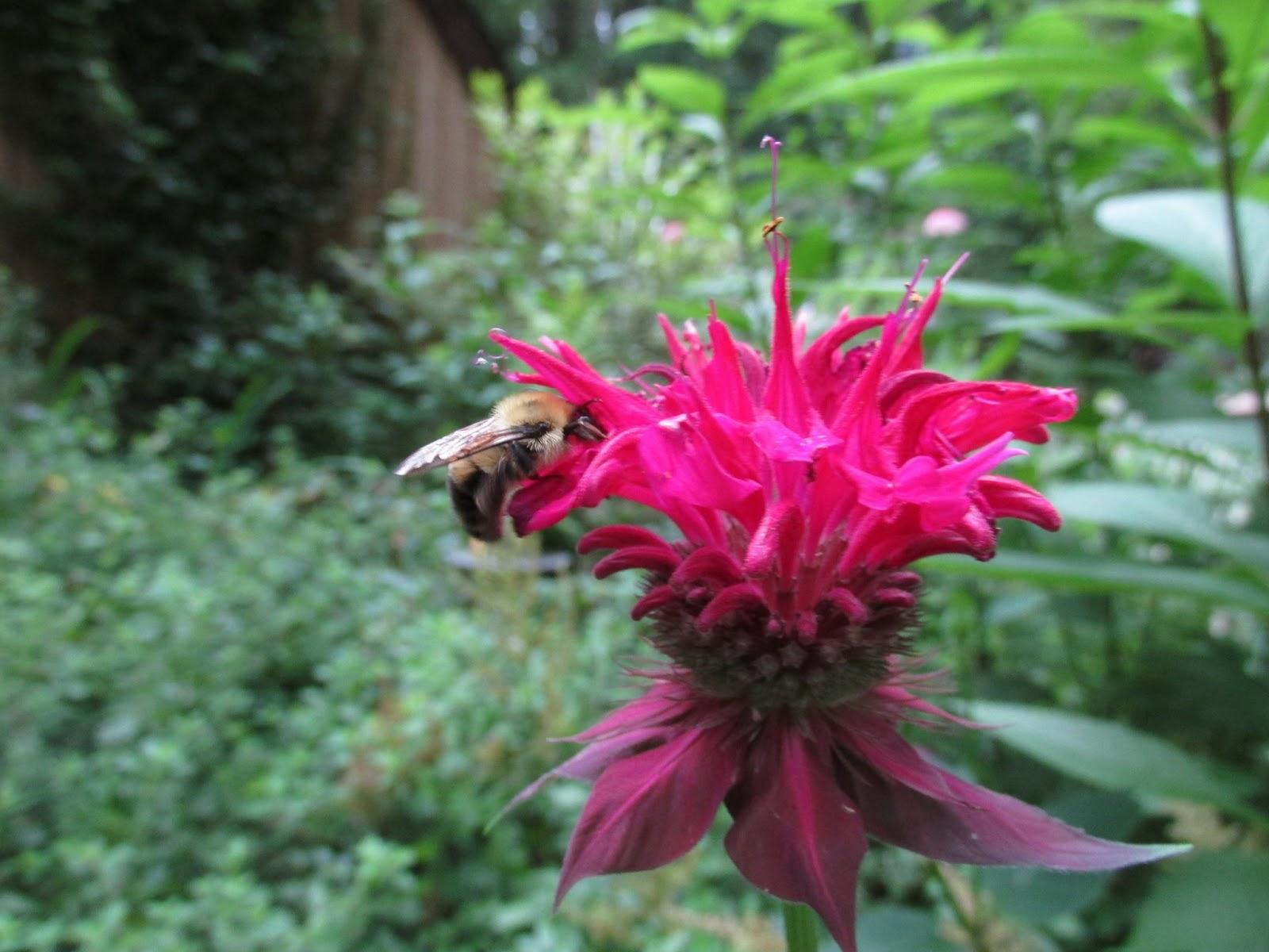 Bee Balm And Bumblebee