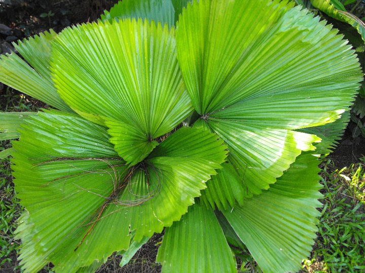 Philippines, My country: The Philippine National Leaf
