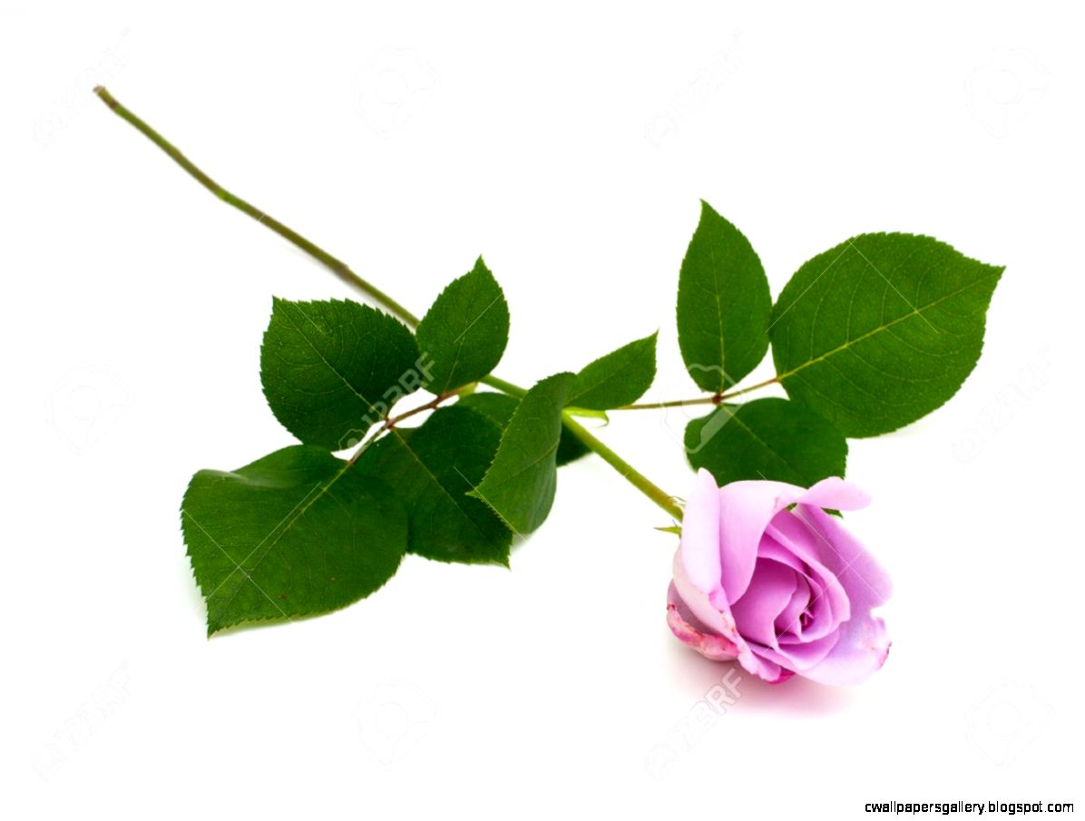Purple Rose Isolated On White Background Stock Photo Picture And