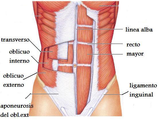 Anatomía aplicada de Nico: Actividades UD 2: Sistema muscular