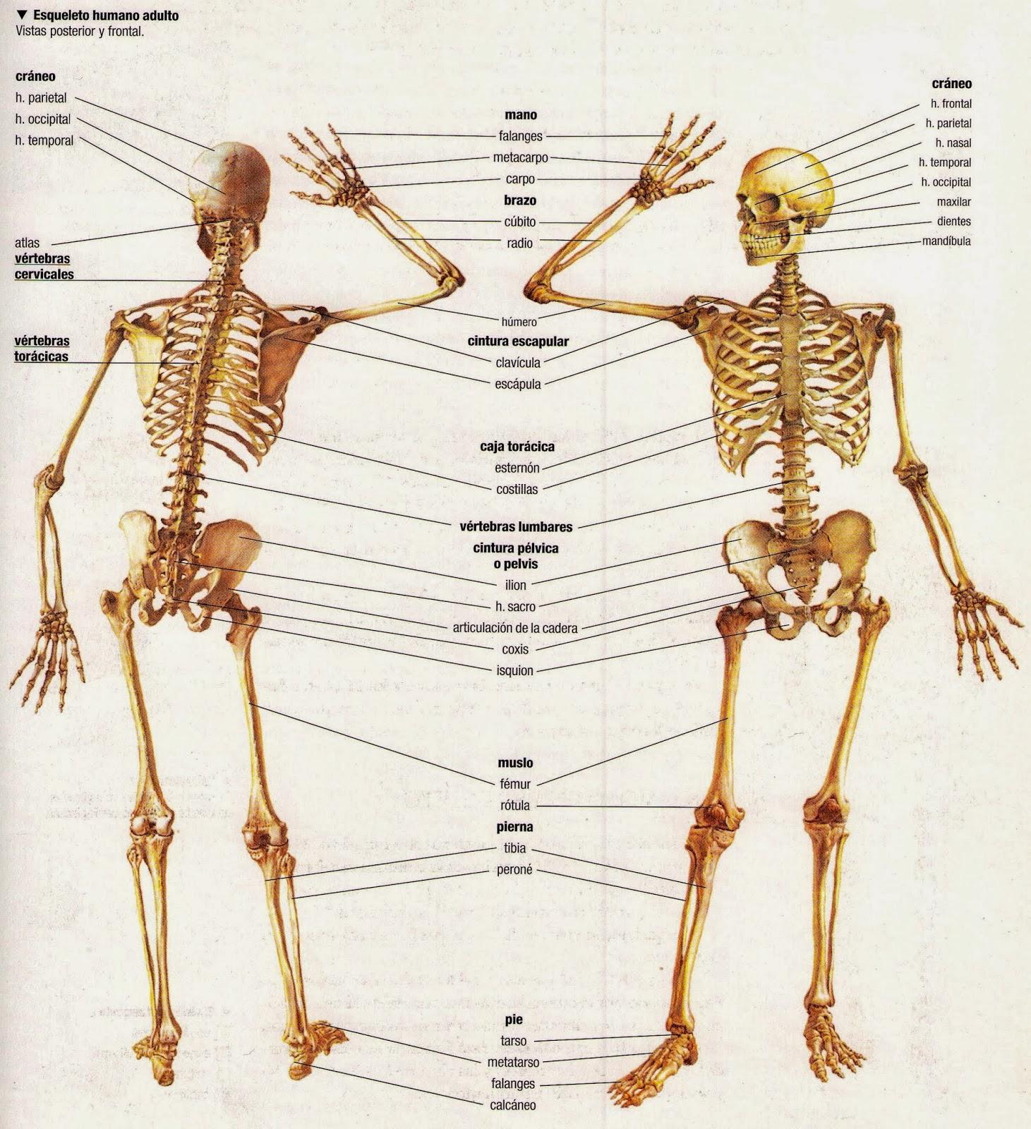 Haciendo camino al correr ...: Anatomía del Aparato Locomotor ...