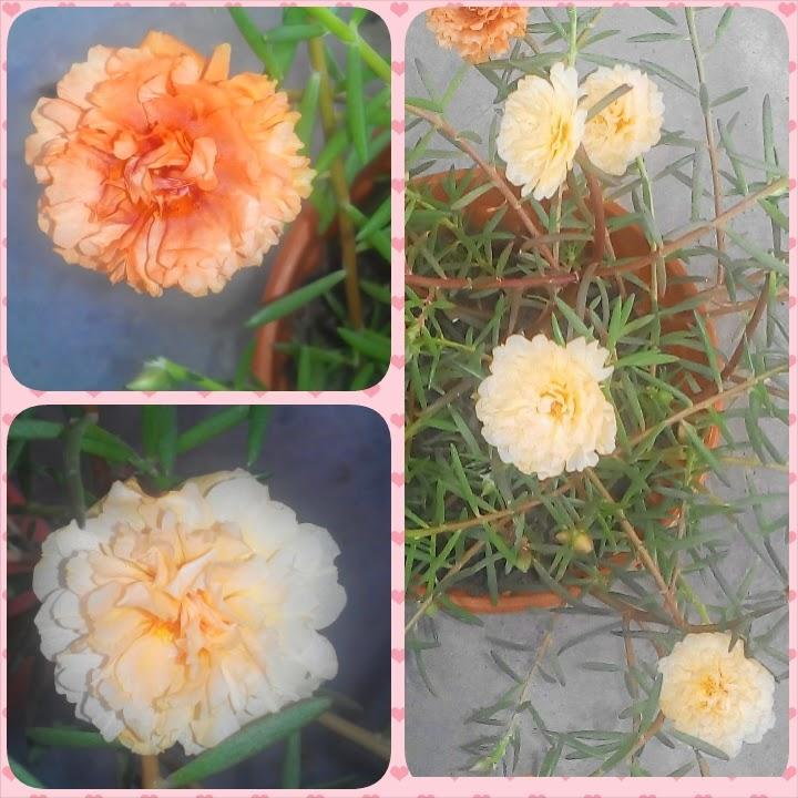 Rose Jepun set basic klasik