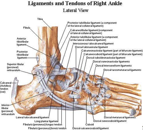 foot anatomy bones   anatomy picture reference and health newsfoot anatomy bones