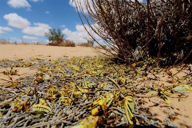 Σμήνη ακρίδων σαρώνουν το Ισραήλ