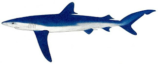 tiburon azul Prionace glauca