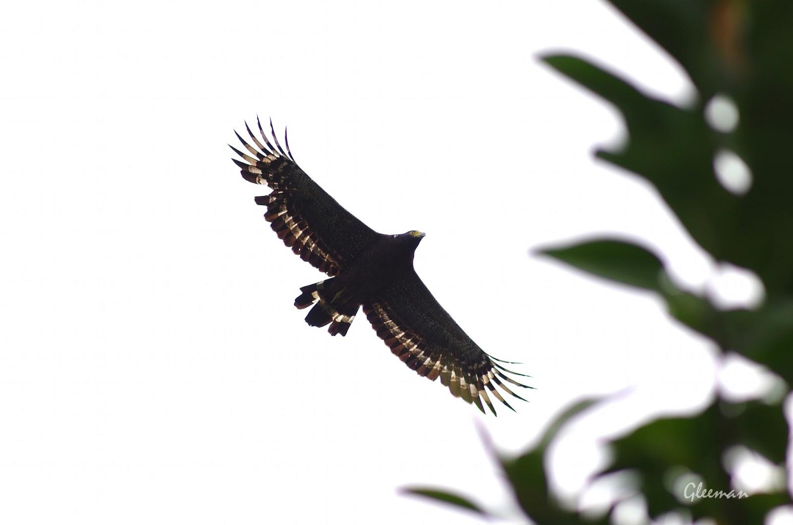雞南山 大冠鷲