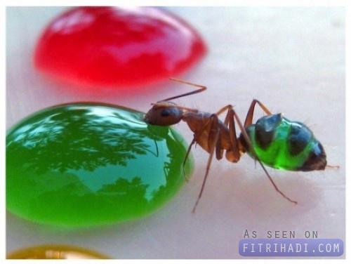 gambar perut semut lutsinar 3