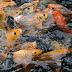 Resep Masakan Ikan Mas, Tim Ikan Mas