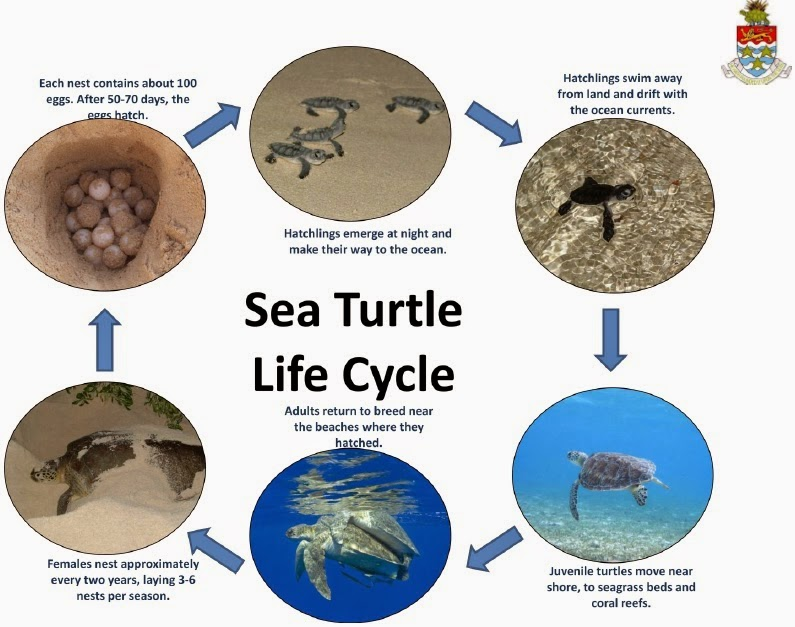 Sea Turtle Life Cycle | Free Collection Of Pictures Of The Water Cycle