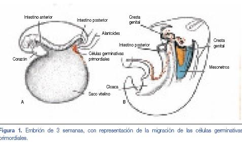 Valoración Médico Legal del Himen : Embriología Del Aparato ...