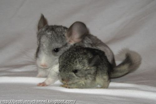 Two  chinchillas 3.