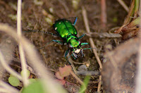 Six-spotted tiger beetle hiding in the duff