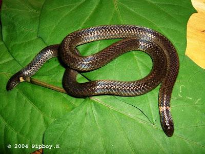 鈍尾兩頭蛇