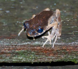 Sarawak Slender Litter Frog (Leptolalax gracilis)