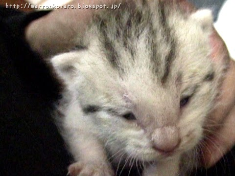 仔猫の目が開く時は、間寛平さんに似ているかも