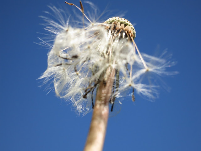 Dandelion clock with most seeds already gone, the ones which remain shaking in the breeze. Pictured from below against a deep blue sky.