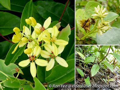 Maiden's Jealousy (Tristellateia australasiae)